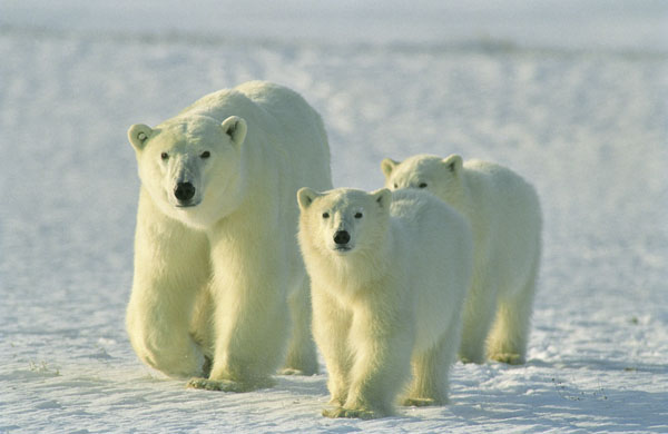 where do polar bears live map with Fauna on 23 Fact Tuesday Polar Bear as well Animal Facts Sea Otter furthermore 1426205112 further Fauna additionally Omnivores.